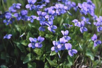 blog-image-wood-violet-2