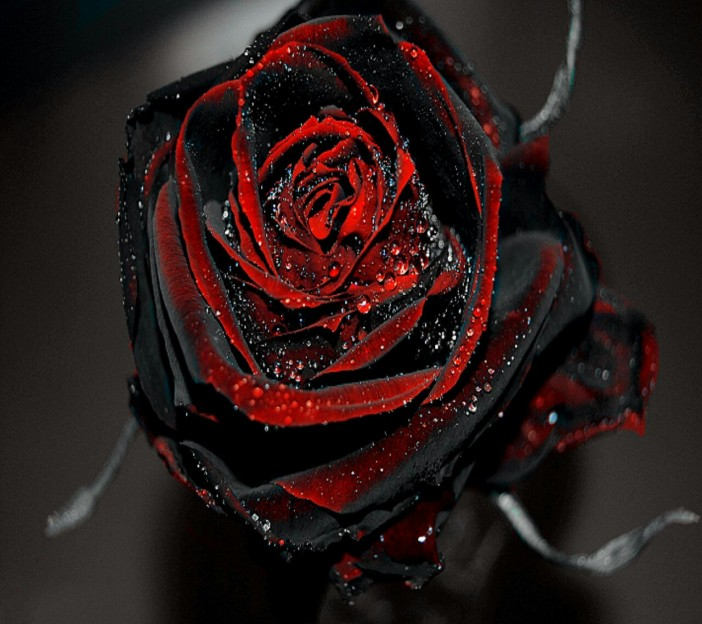 blog image black red gothic rose
