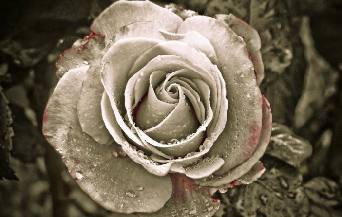 blog image gothic white rose