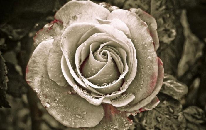 blog image gothic white rose