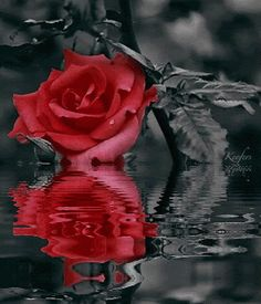 blog image reflecting rose
