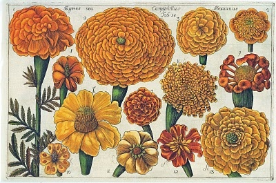 blog image marigolds